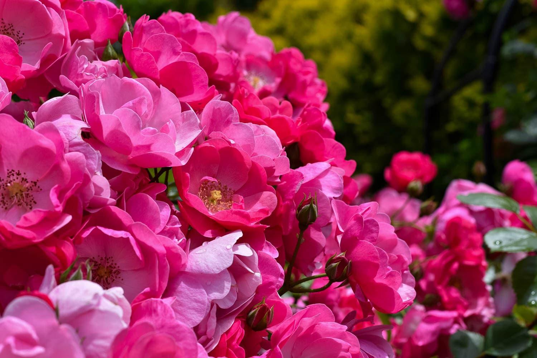 お庭に咲くバラ